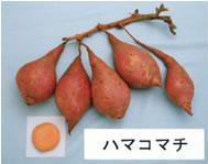 写真:独立行政法人 九州沖縄農業研究センター H.P.より